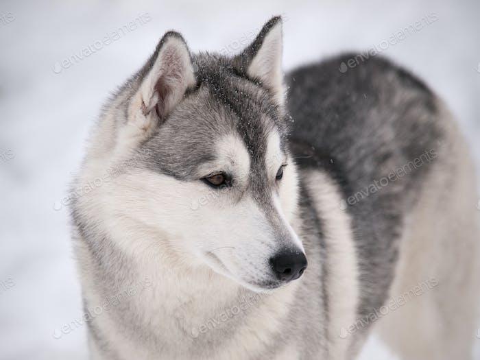 Husky Hund im freien