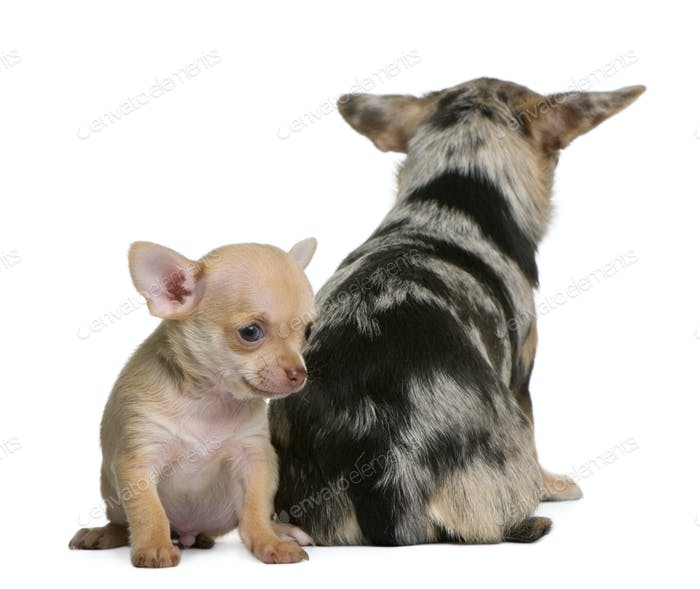 Chihuahua mother and her puppy, 8 weeks old, in front of white background