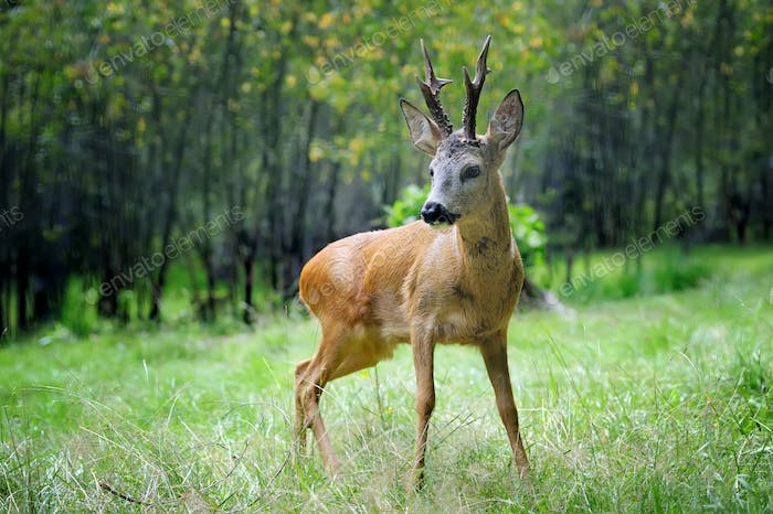 Young deer in summer forest