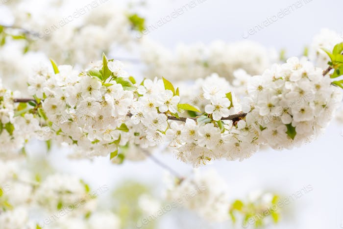 Branch of a flowering tree with hundreds of white petal blossoms. Tender springtime garden landscape