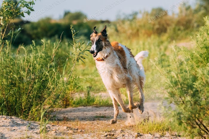 Running Adult Russian Wolfhound Hunting Sighthound Russkaya Psov