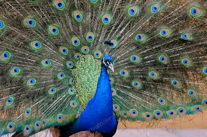 Portrait of beautiful pavo