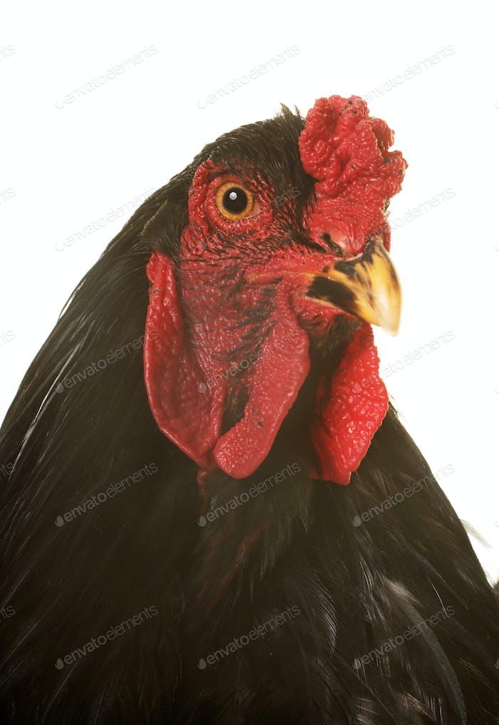 brahma rooster in studio
