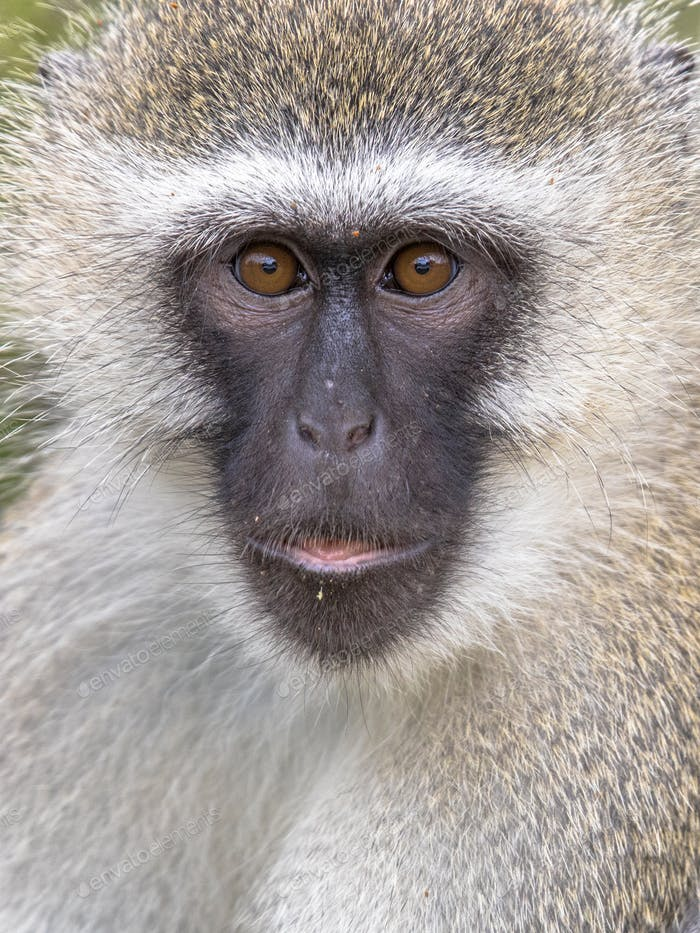Vervet monkey portrait looking at camera