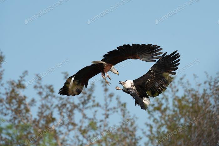 A Fish Eagle, Haliaeetus vocifer, talons grabbing