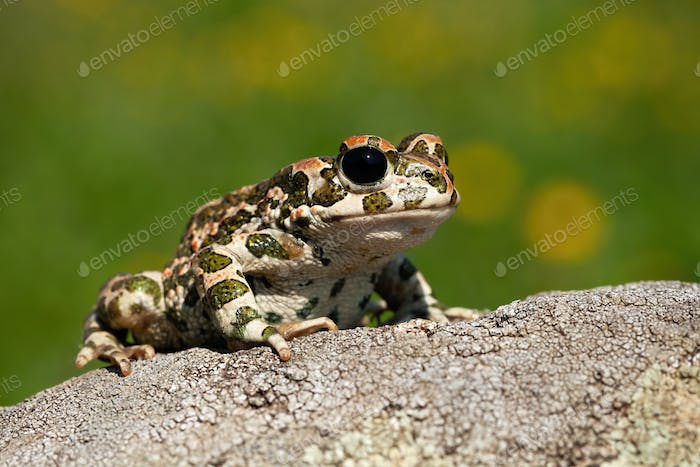 Curious european green toad looking with big black eyes in summer