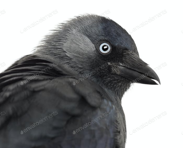 Close-up of a Western Jackdaw, Corvus monedula, (or Eurasian Jackdaw, or European Jackdaw