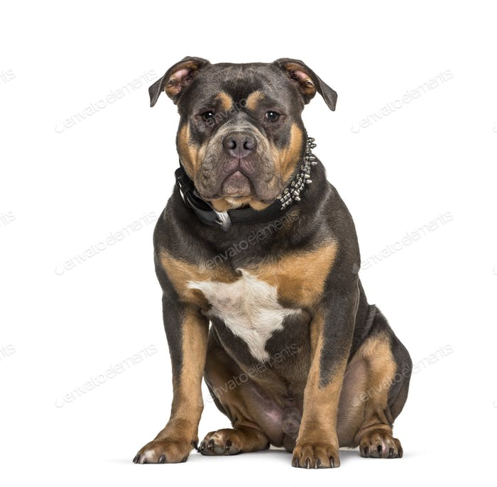 American Bully sitting against white background