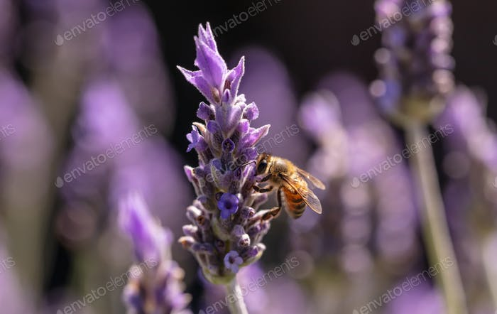 Bee on a lavender flower, Closeup view of a bee pollinating a lavender blossom