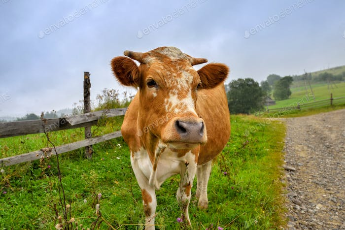 Beautiful white red-haired young cow on pasture looking at camer