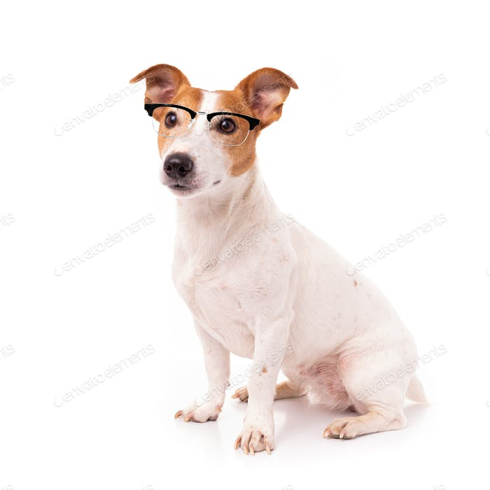 jack russell dog  isolated on white background, wearing reading glasses
