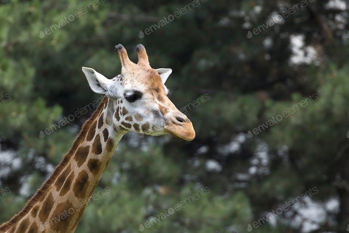 Giraffe a portrait