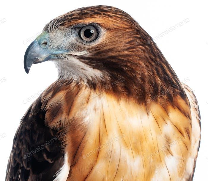 Red Hawk Closeup