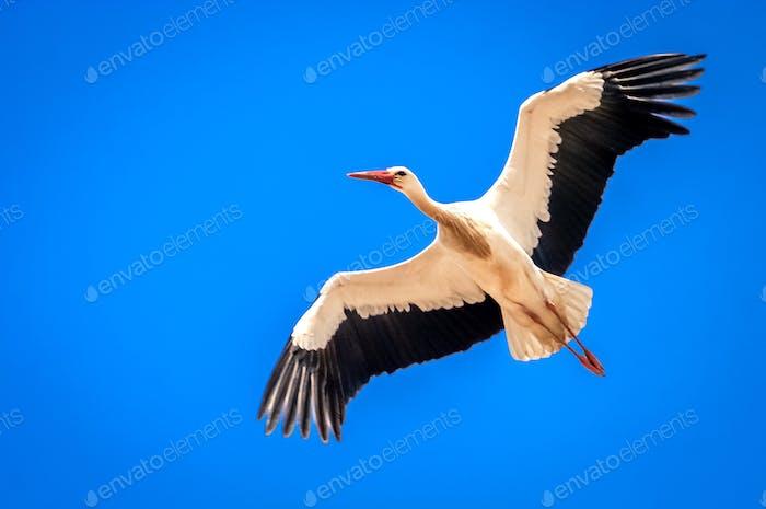 Stork in the sky