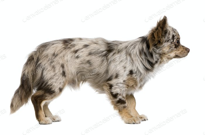 Side view of Chihuahua puppy, 8 months old, standing in front of white background