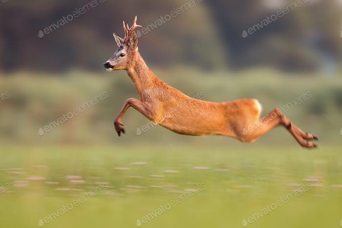 Rehbock springen hoch im Sommer Natur beim Laufen schnell
