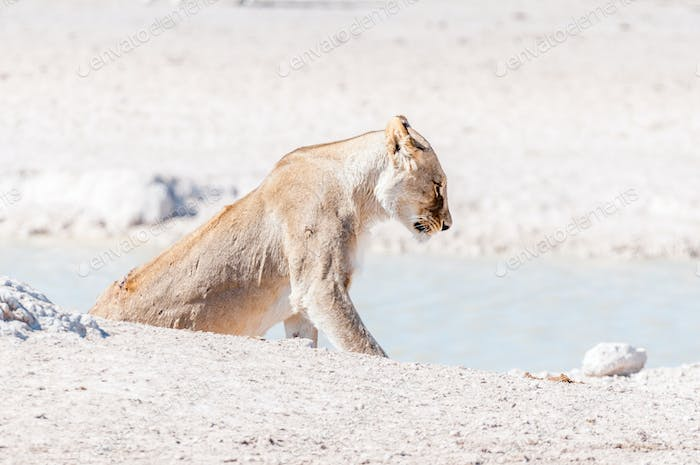 Scarred African Lioness, Panthera leo, with visible wounds