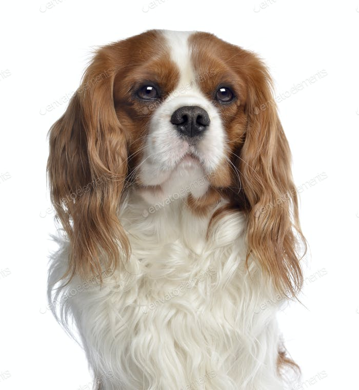 Close-up of a Cavalier King Charles, 2 years old, isolated on white
