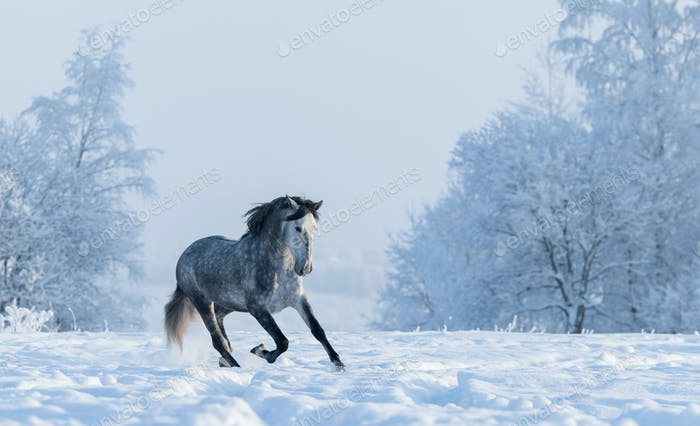 Winter snowy landscape. Galloping grey Spanish horse