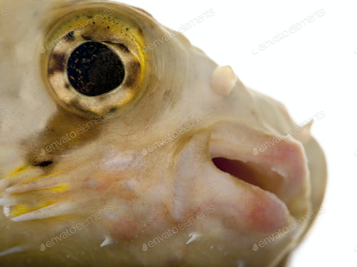 Close-up of Porcupinefish or Balloonfish, Diodon holocanthus, in front of white background