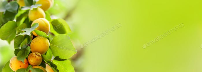 Apricot tree branch with sweet ripe fruits on green background. close-up photo. copy space for text