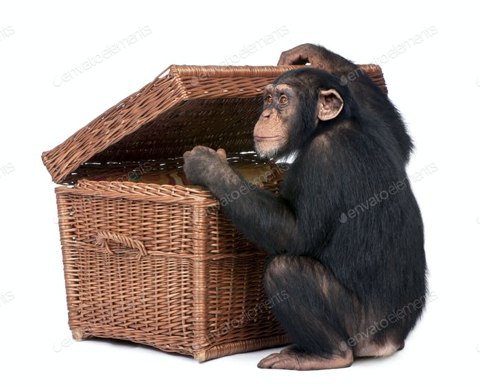 Young Chimpanzee looking into a chest
