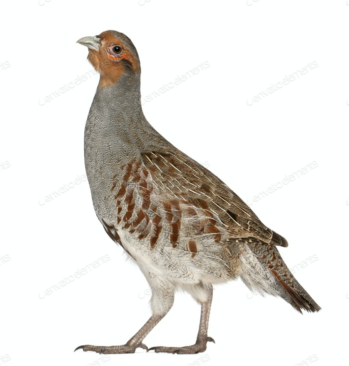 Portrait of Grey Partridge, Perdix perdix, also known as the English Partridge, Hungarian Partridge