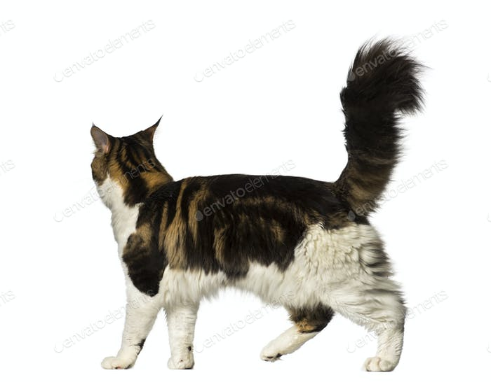 Maine Coon walking away