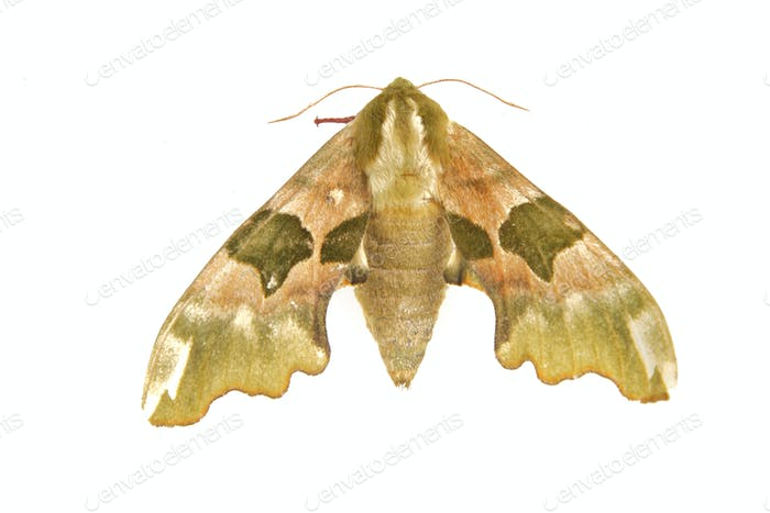 Lime hawk-moth (Mimas tiliae) on a white background