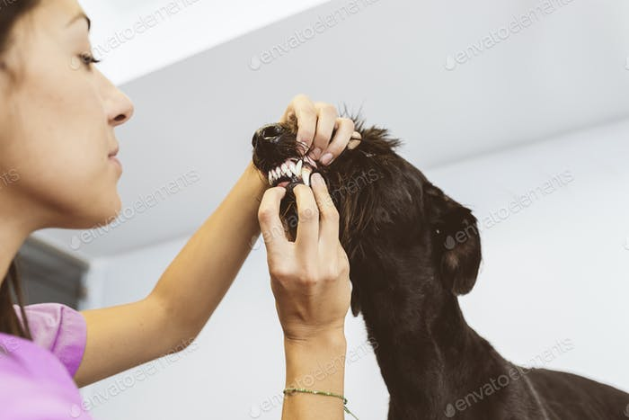 Veterinarian doctor is making a check up of a cute beautiful dog.