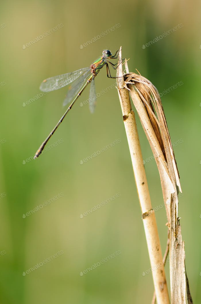 Beautiful detail of Lestes sponsa dragonfly