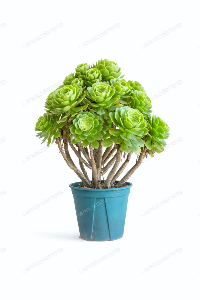 potted green succulent plant isolated