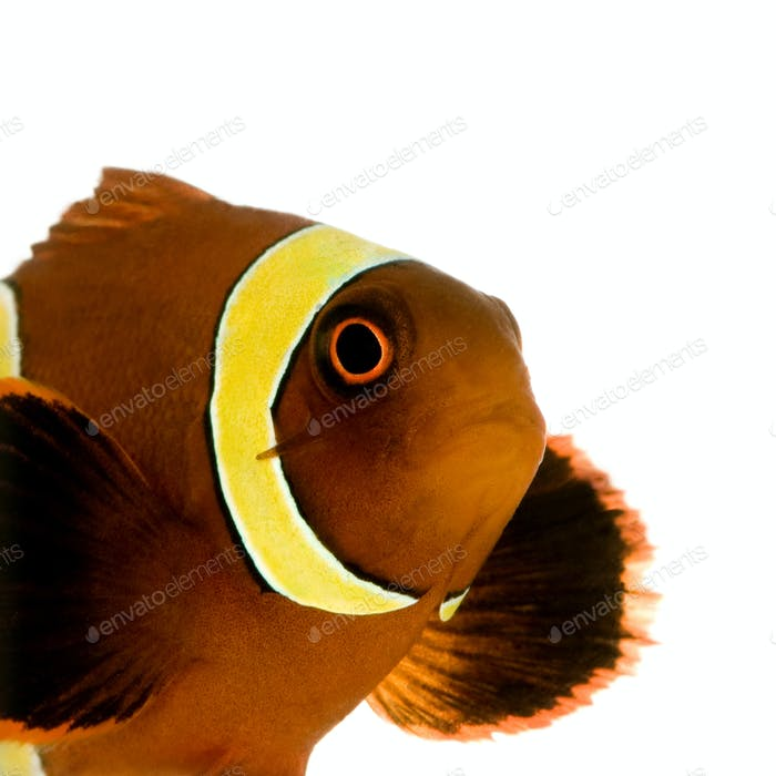 Thumbnail for Gold stripe Maroon Clownfish - Premnas biaculeatus