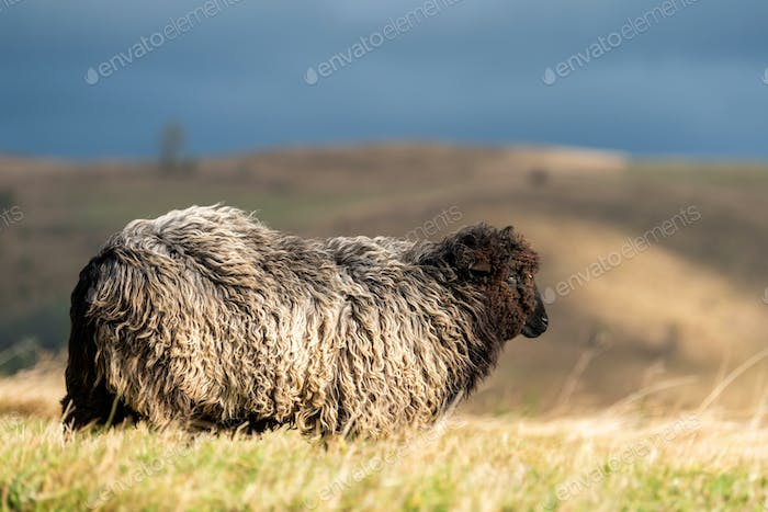 Sheep on pasture in mountains