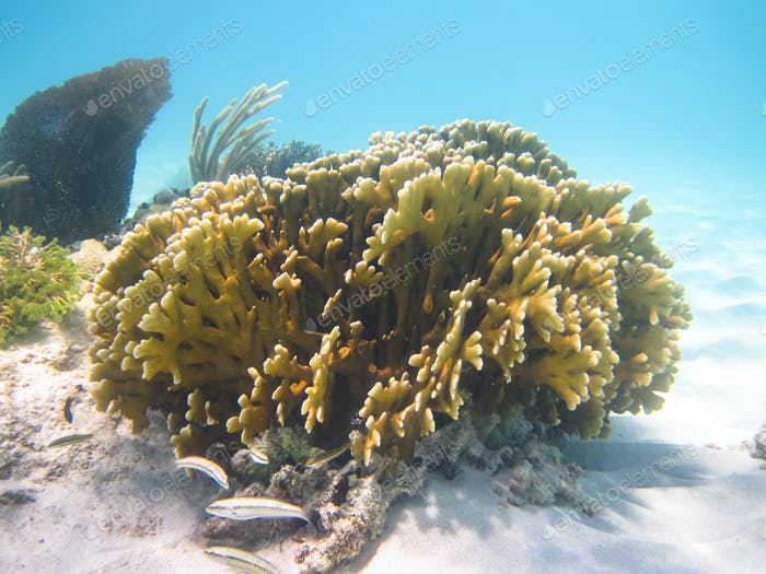 Colony of Coral in the Caribbean Sea