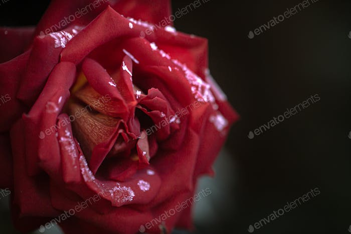 A single red rose, covered with ice crystals close up.