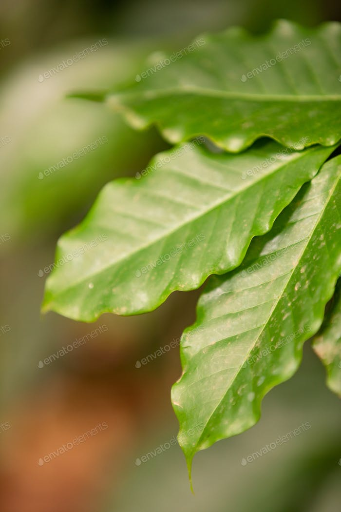 Close-up of a Leaf at Organic Coffee Fruits Plant In Farm