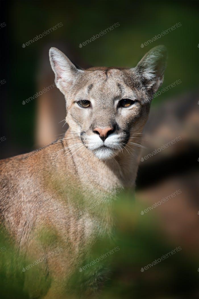 Portrait of a cougar, mountain lion, puma