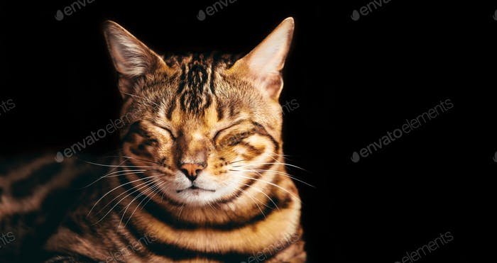 Bengal cat portrait on black background. Smiling, eyes closed.