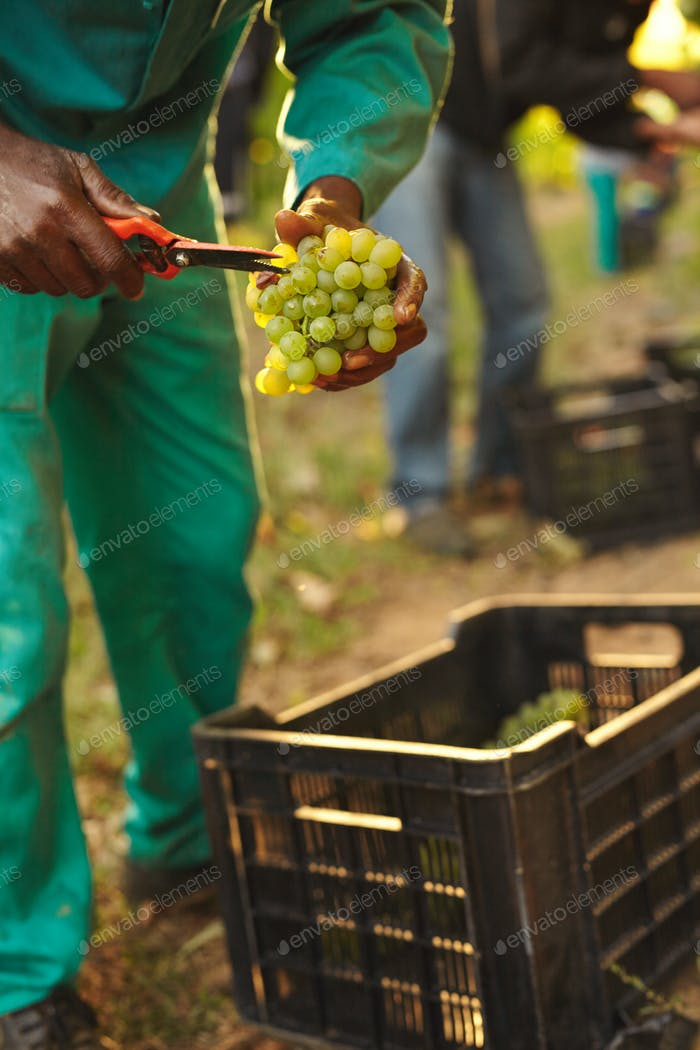 Farmer picking up the best quality grapes at vineyard