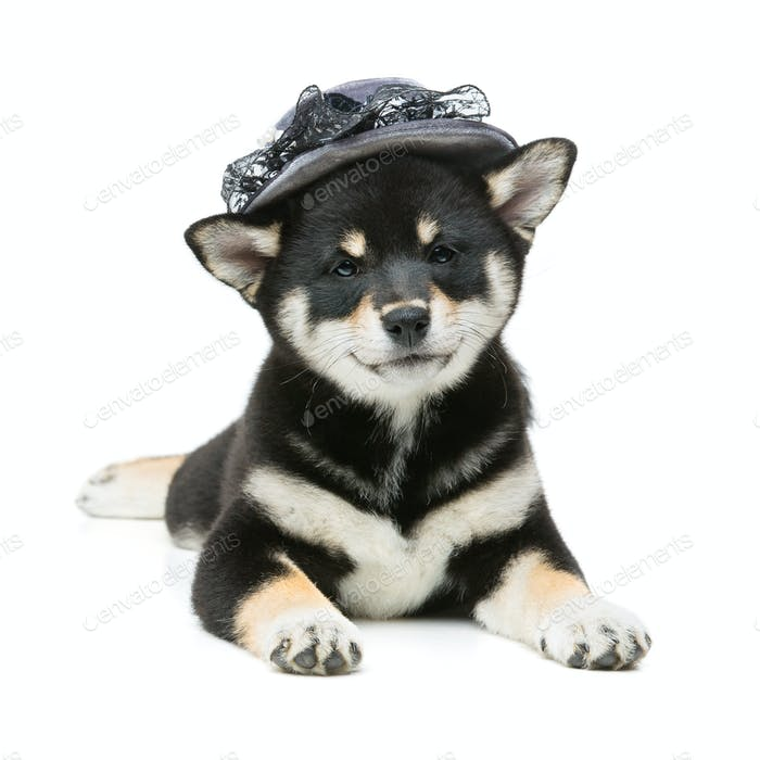 Beautiful shiba inu puppy in grey hat