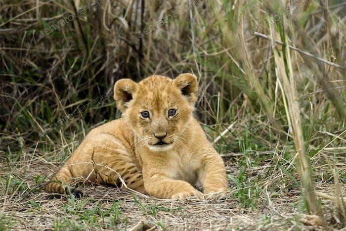 Front view of lion cub, Serengeti National Park, Serengeti, Tanzania
