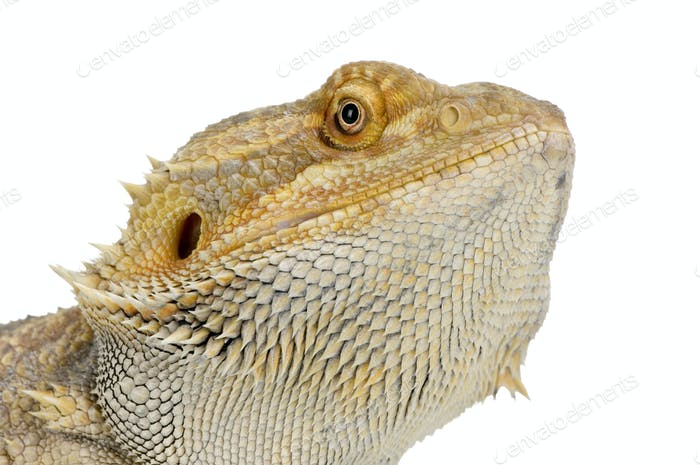 Thumbnail for Bearded Dragon - pogona vitticeps