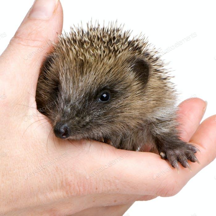 hedgehog (1 mounths)