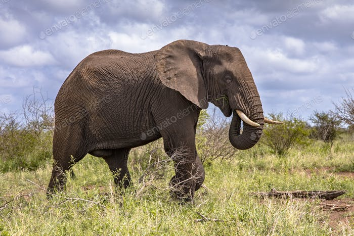 African Elephant walking sideview