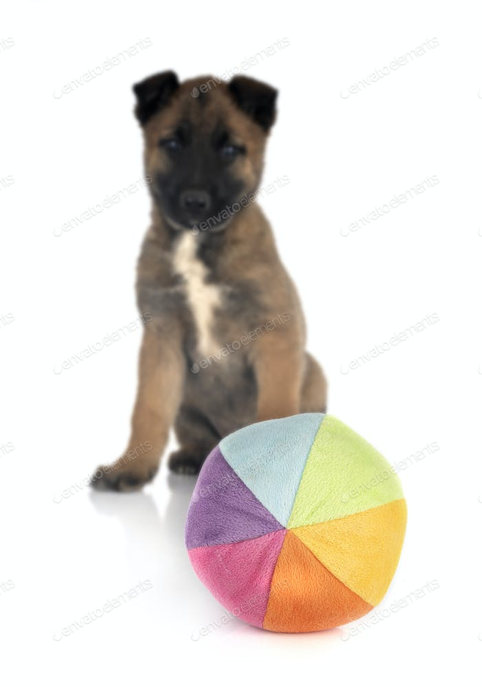 puppy malinois with toy