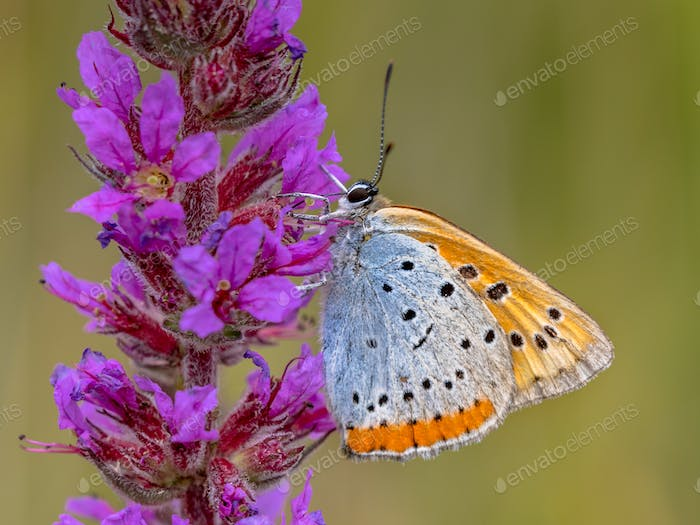 Large copper butterfly on purple flower