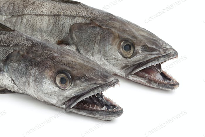 Two heads of Hake fishes