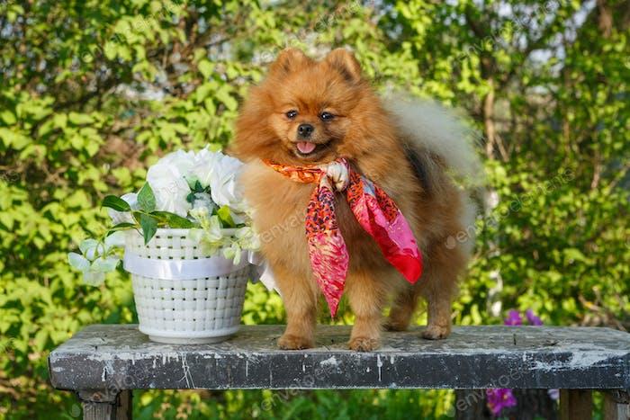 Dog breed Pomeranian  in the garden