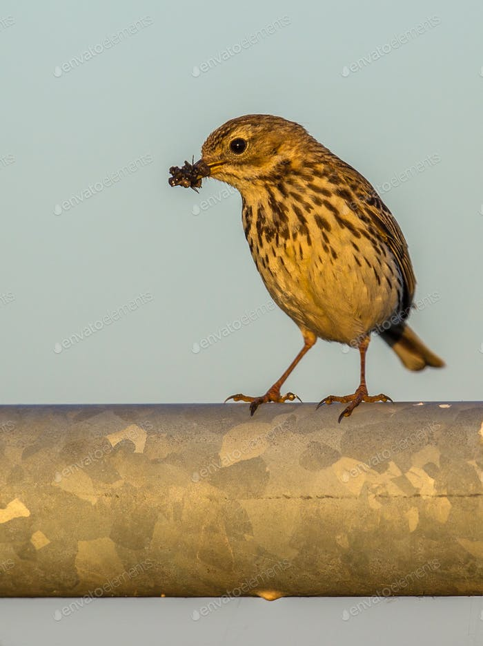 Meadow pipit with insects in beak afternoon light